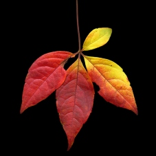 Autumn_Leaves_36